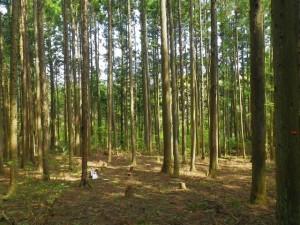 針葉樹林内