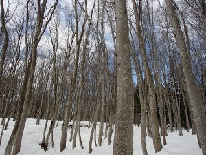 新潟県美人林